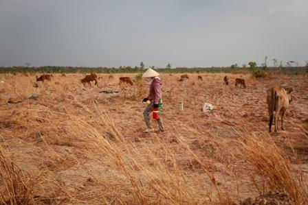 Tây Nguyên khô cháy, bò chết hàng loạt