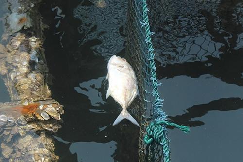 Đại nạn cá chết ở miền Trung: Thiệt hại tăng dần theo tiền tỉ