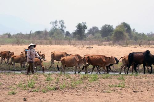 Người dân bất lực nhìn hàng trăm con bò chết trong cơn đại hạn