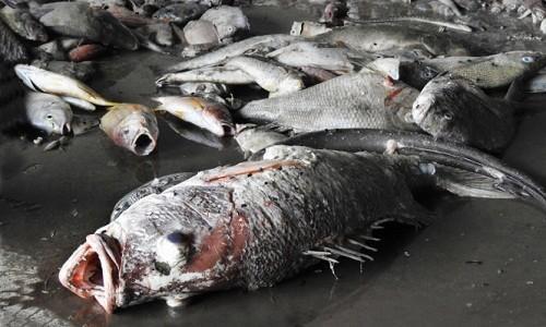 Bộ KHĐT kiến nghị 5 giải pháp xử lý tình trạng cá chết hàng loạt