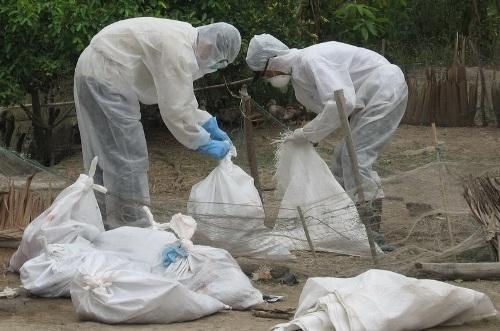Bạc Liêu: Đàn gà 1.700 con nhiễm cúm gia cầm