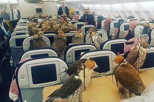 Hoàng tử Ả Rập 'chịu chơi' mua vé máy bay hạng sang cho 80 chim ưng