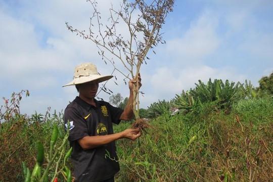 Bình Thuận điều tra vụ cây chết hàng loạt