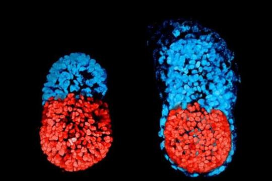 Tạo được phôi thai nhân tạo không cần tế bào trứng