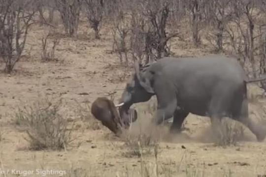 Voi châu Phi nổi giận húc thủng bụng trâu rừng