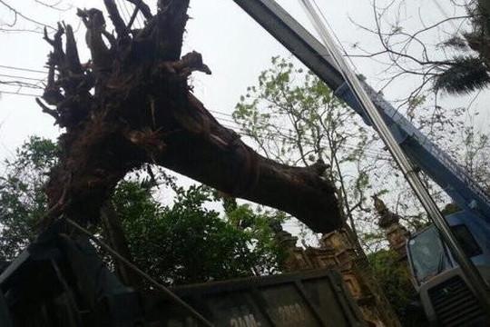 Hạ cây sưa bán đấu giá 24,5 tỉ ở Bắc Ninh