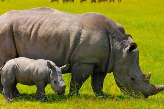 Long An: Một tê giác con được sinh hạ tại vườn thú Mỹ Quỳnh