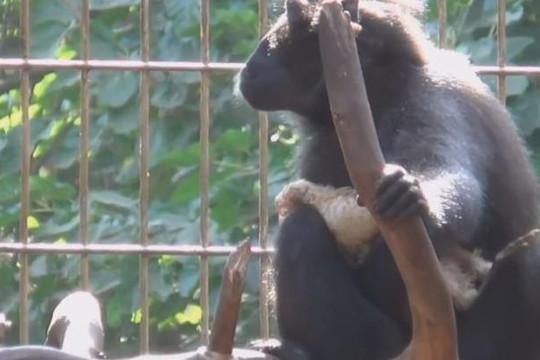 Khỉ chăm sóc gà đi lạc như con mình