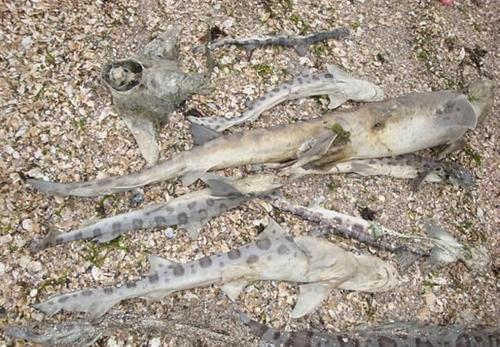 Phát hiện loài ký sinh ăn não giết hàng nghìn cá mập