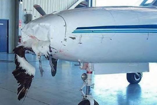 Chuyện gì sẽ xảy ra khi chim va vào máy bay?