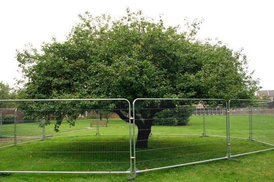 'Cây táo Newton' 400 năm trước giờ ra sao?