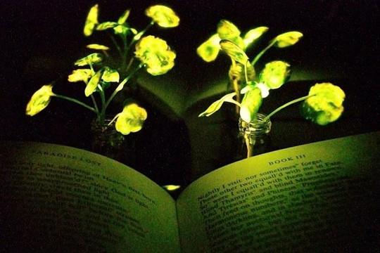 Cây cải phát sáng như đèn điện nhờ biện pháp nano