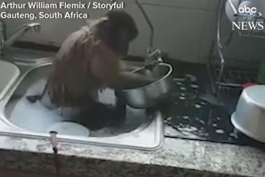 Khỉ ngồi trong bồn nước, cần mẫn rửa chén giúp chủ nhân