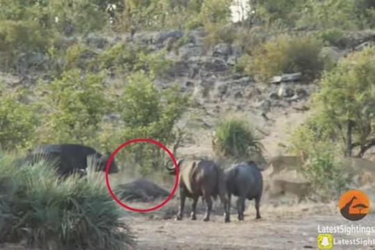 Đàn trâu rừng hợp sức tấn công bầy sư tử giải cứu voi con