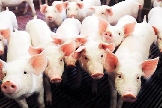 Phát hiện gien chịu trách nhiệm về kích thước cơ thể của lợn