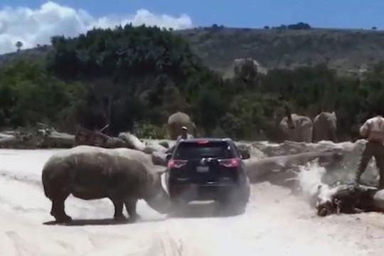 Hoảng hồn tê giác hung hãn tấn công ô tô của du khách trong công viên