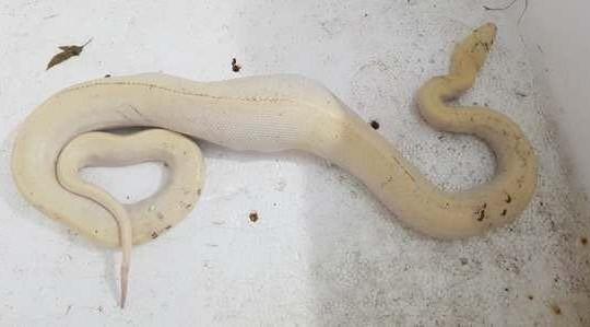Cà Mau: Phát hiện con trăn bạch tạng nặng hơn 2 kg