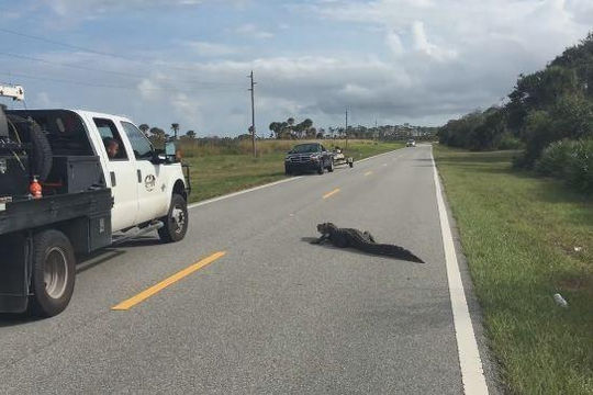Cá sấu nằm phơi nắng giữa đường gây ùn tắc giao thông