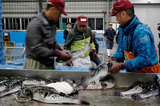 Biến đổi khí hậu sinh ra cá nóc đột biến, món ngon 'chết người' của xứ Phù Tang