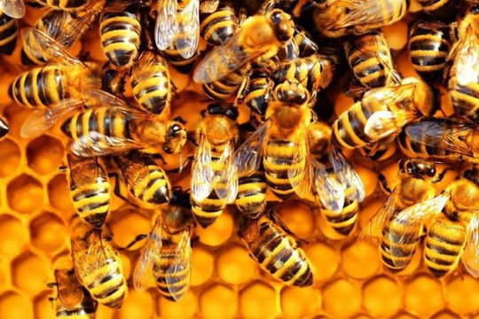 Loại vắc xin đầu tiên trên thế giới dùng cho ong mật