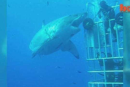 Ghi hình siêu cá mập to chưa từng có ngoài khơi biển Hawaii