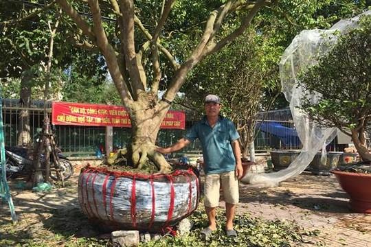 Chuyện về những cây mai được hét giá tiền tỉ ở miền Tây Nam Bộ