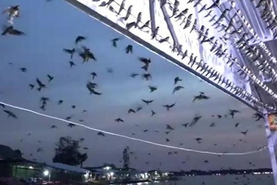 Kỳ lạ hàng ngàn chú chim én chỉ thích… ngủ trên bè cá