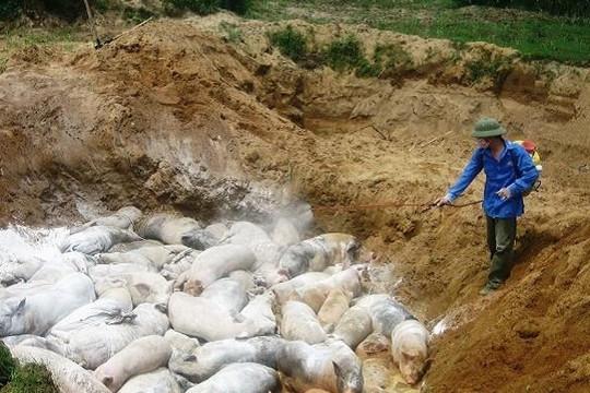 Dịch tả lợn châu Phi xuất hiện tại Thanh Hóa