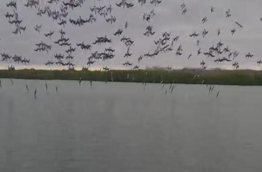 Clip cảnh tượng độc đáo hàng trăm con chim điên lao mình xuống nước