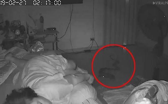 Rùng mình cảnh trăn bò vào nhà cắn cụ bà lúc nửa đêm