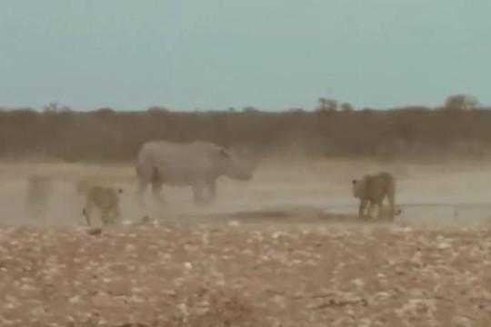 Tê giác dũng mãnh đánh trả cả đàn sư tử để thoát thân