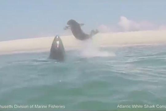 Bị cá mập trắng dồn đến đường cùng, hải cẩu dùng đuôi quật lại đối thủ