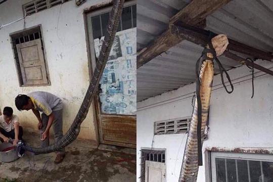 Rắn hổ mang chúa khổng lồ dài 5m bị treo cổ lên trần nhà, cắt tiết, làm thịt