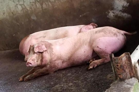 Sóc Trăng tiêu hủy 55 con heo bị dịch tả lợn châu Phi