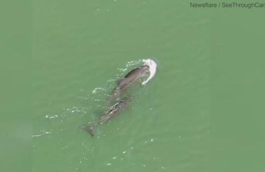 Xúc động cảnh cá heo mẹ đau buồn mang xác con bơi trên biển