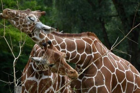 Vườn thú Đức mở tour về 'quan hệ đồng tính' của sư tử, chim cánh cụt