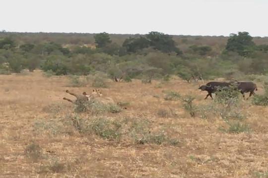 Tấn công trâu rừng trước mặt bầy, cặp sư tử bị rượt chạy trối chết