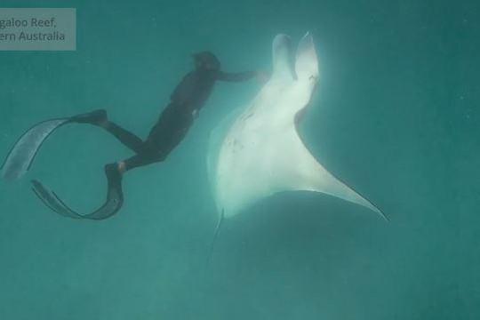 Cá đuối manta khổng lồ cố áp sát thợ lặn để cầu cứu
