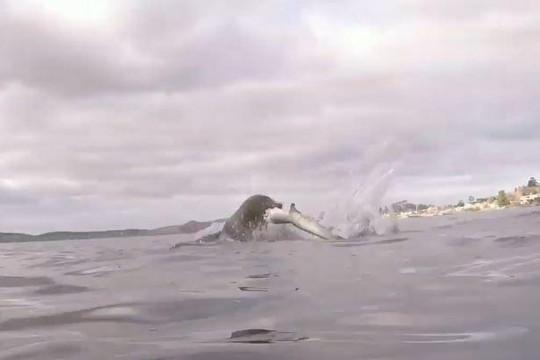 Cảnh tượng hiếm thấy hải cẩu săn cá mập cáo ngoài khơi Australia