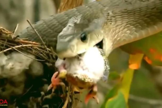 Nhân lúc chim mẹ đi tìm mồi, rắn độc mò vào tận ổ ăn bầy con non