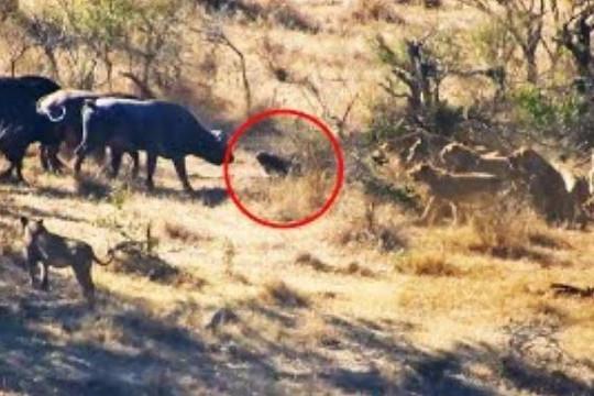 Trâu rừng hợp sức giải cứu đồng loại bị bầy sư tử đói cắn chặt