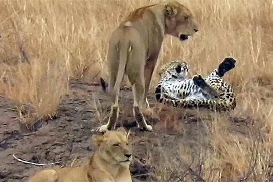 Giả vờ bại trận trước bầy sư tử, báo hoa mai tìm cơ hội trốn thoát ngoạn mục