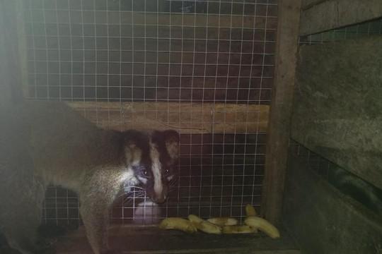 Đang thụ án tù treo liên quan đến động vật qúy hiếm, vẫn thuê người nuôi động vật hoang dã trái phép