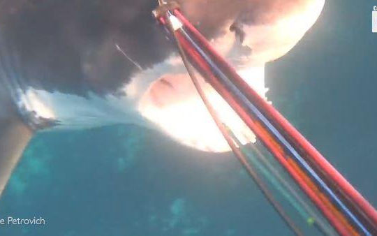 Thót tim cảnh cá mập trắng tấn công nhóm thợ lặn dưới biển