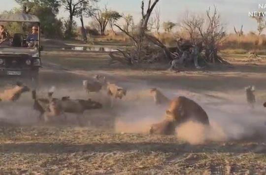 Sư tử cắn gãy cổ chó hoang châu Phi để bảo vệ con