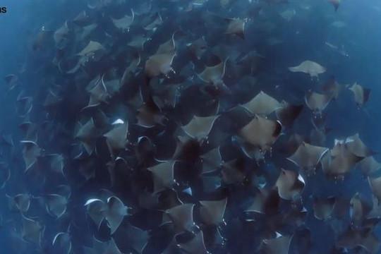 Cảnh tượng hiếm có hơn 10.000 con cá đuối quỷ tụ tập ngoài khơi