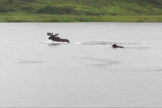 Chiến thuật thông minh giúp nai sừng tấm thoát sự truy đuổi của gấu xám