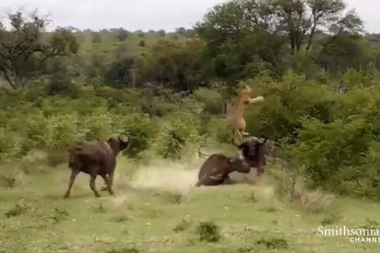 Trâu rừng nổi điên hất tung sư tử lên cao để cứu đồng loại
