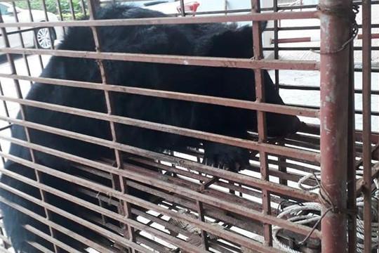 Hà Tĩnh: Khởi tố vụ tài xế taxi vận chuyển cá thể gấu quý hiếm