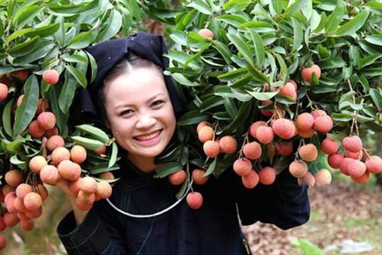 Vải thiều Việt Nam được xuất khẩu trực tiếp sang thị trường Nhật Bản